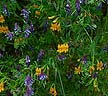 Mimulus and Vetch
