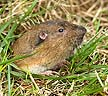 Botta's Pocket Gopher