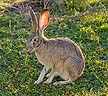 Black-tailed Hare